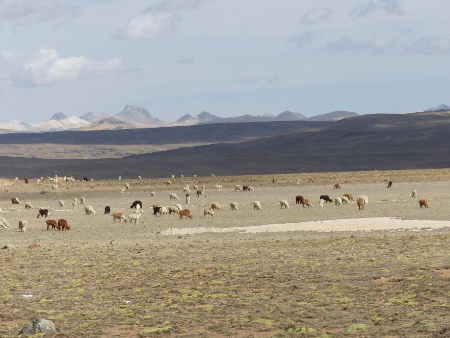 Alpaca and llamas grazing.