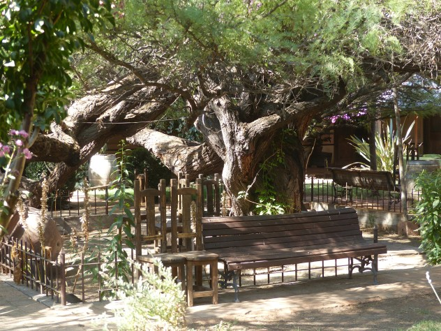 A very old tree in the hotel courtyard