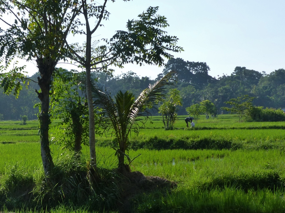 Rice fields behind the accommodations.